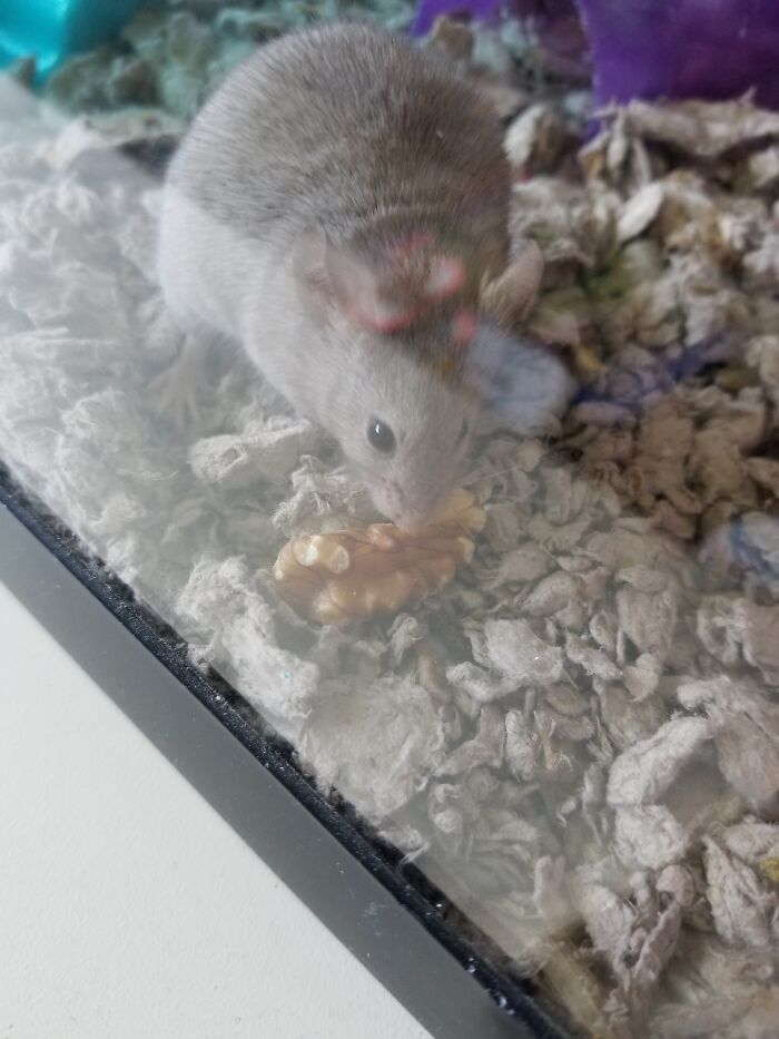 My Mouse With Her Favorite Treat: A Walnut!