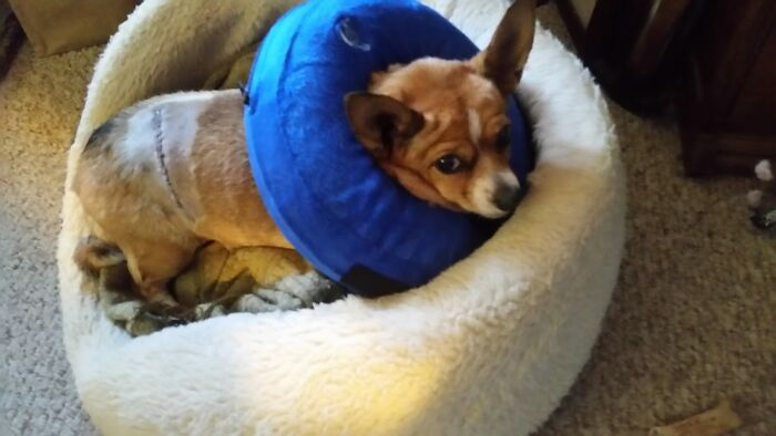 """Lexie vs. Deer. Chihuahuas Think They Are Vicious Killers, So Of Course, Lexie Went After A Deer. Thankfully She's Fast As The Deer Kicked Her As She Turned To Run Away. She Ended Up With A 3"""" Gash On Her Side, Stitches And Was More Upset About The Collar Than Getting Kicked. Still Hasn't Learned Her Lesson, Tried Chasing A Buck Out Of The Yard A Few Months Later."""