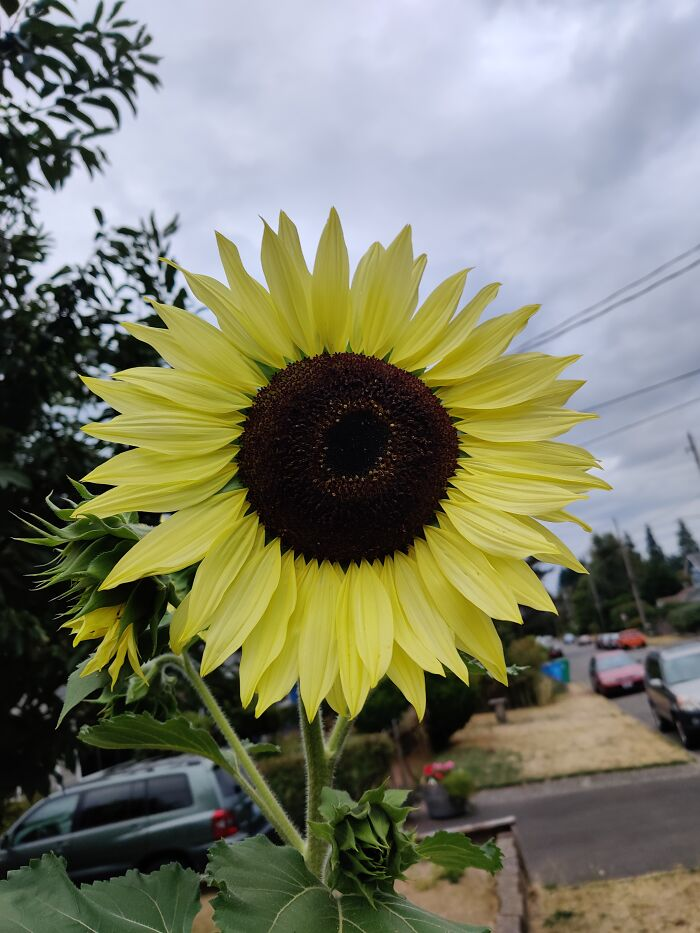 One Of The Many Sunflowers In My Garden.