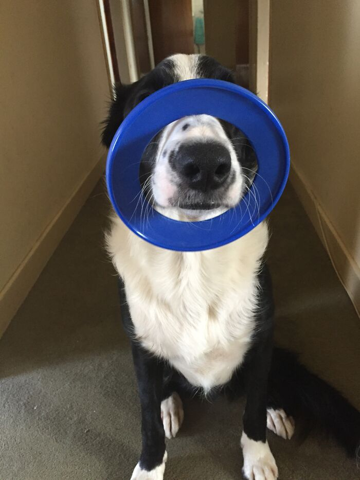 This Is My Dog Shilo. He Balances His Toy Rings On His Nose When He Wants Attention And/ Or For One Of Us To Throw It For Him.