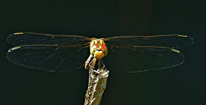 This Snub-Nosed Dragonfly, A Cute Little Tired Flyer 😂