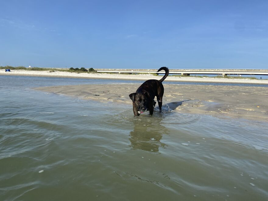 Ginnie Getting In The Water To Play More Fetch