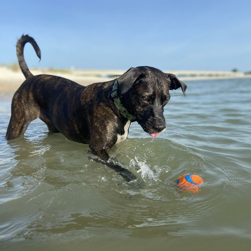 Ginnie Loved Playing Fetch At The Beach
