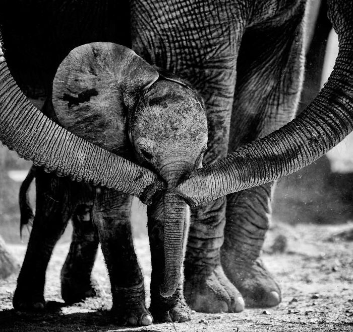 I Captured A Moment When One Bull Elephant Was Trying To Separate A Baby From Its Mother And The Whole Elephant Family Stood Up To Protect It (13 Pics)