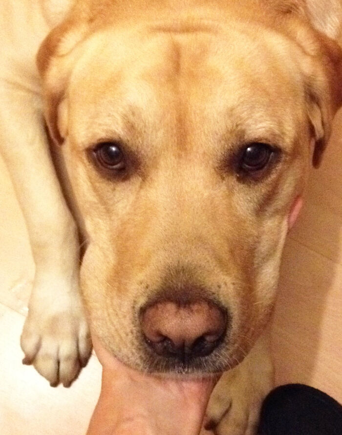 Yellow Lab, Pinky Nose