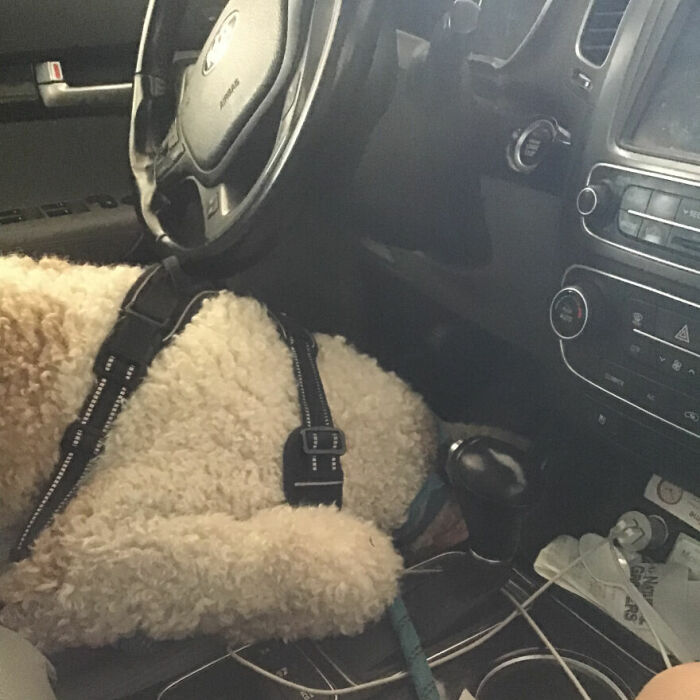 Hey Pandas, Post A Picture Of Your Pet In A Car