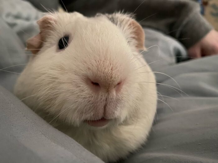 Coby Has A Fantastic, Totally Boopable Nose. Guinea Pig Noses Are So Cute