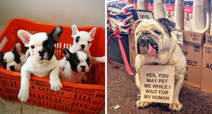 50 Cute Pics Of Bulldogs Prove How Common Stereotypes About Them Are Wrong